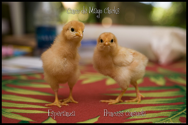 Cinco-de-Mayo-Chicks