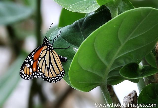 Monarch_640